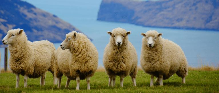 כבשים וגבעות