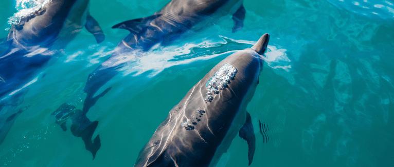 דולפינים בניו זילנד